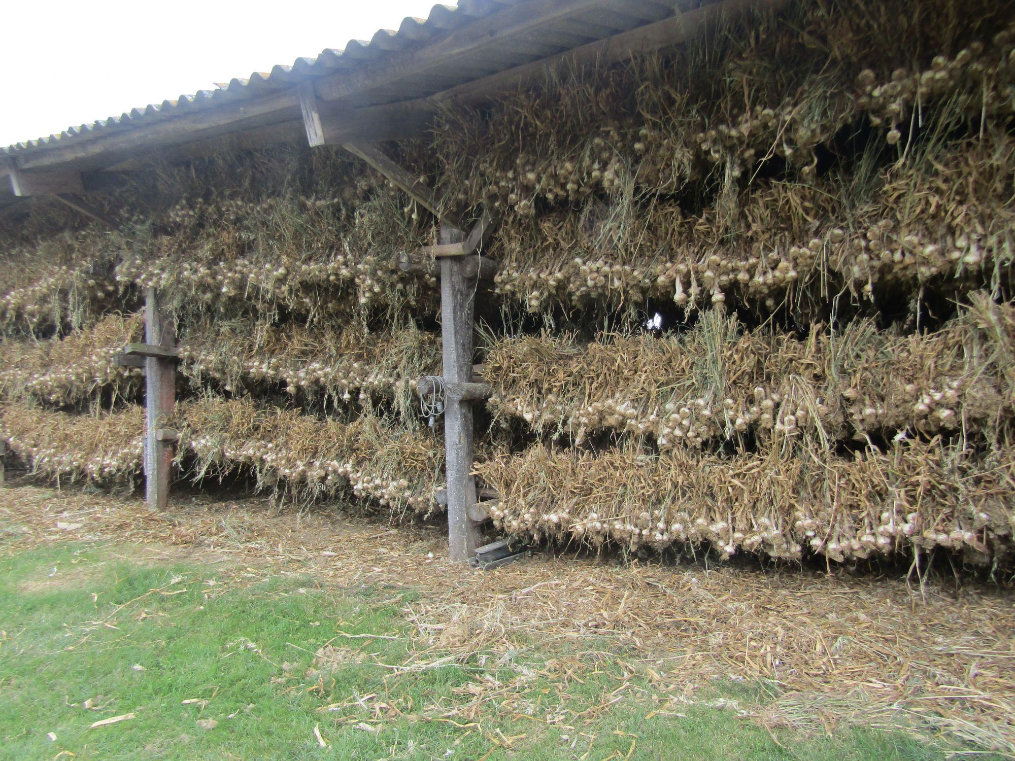 séchoir d'ail blanc bio de lomagne